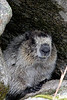 This hoary marmot was kind enough to pose for a number of photos in various positions.