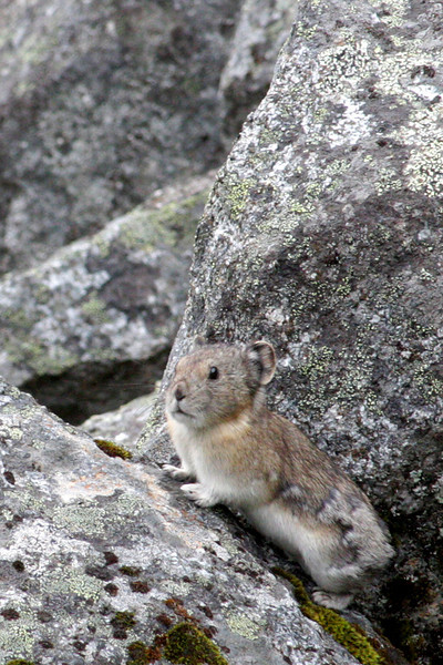This pika is still shedding some heavy winter fur as summer gets into full swing.