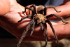 Just before leaving Robber's Cave, we found a friendly tarantula and spent some time playing with him.