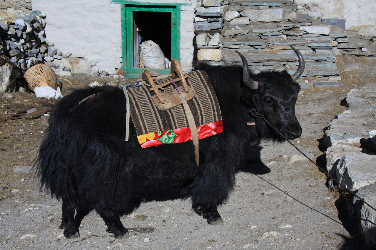 """This young baby yak was in training and was prone to run away and misbehave.  It's name is """"Rock-Poo"""""""