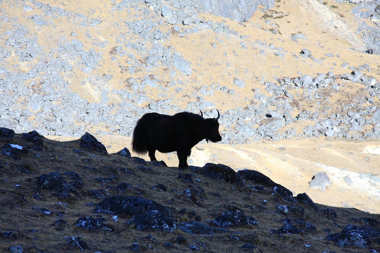 Silhouette of yak at Dzonglha