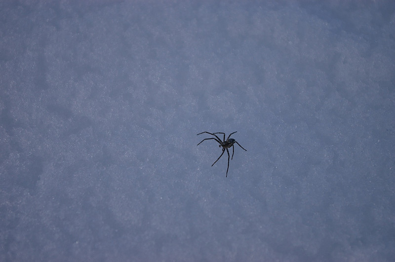 A spider hunts for insects on the snow.