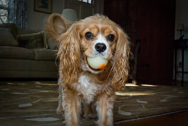 Dash loves to fetch the ball -- my favorite part is when he slides around on the wood floor.