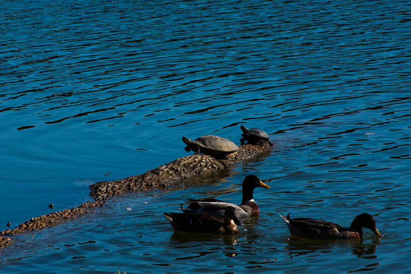 Turtles and ducks enjoy their peaceful life on the waters of the Brazos.