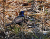 """Common Grackle  (Quiscalus quiscula)  A large icterid.  The 32 cm (13 in) long adult has a long dark bill, pale yellowish eyes and a long tail. Its plumage is an iridescent black or purple on the head. The adult female is slightly smaller and less glossy.  The breeding habitat is open and semi-open areas across North America east of the Rocky Mountains. The nest is a well-concealed cup in dense trees (particularly pine) or shrubs - usually near water. Sometimes the Common Grackle will nest in cavities or in man-made structures. It often nests in colonies (some being quite large).  This bird is a permanent resident in much of its range. Northern birds migrate in flocks to the southeastern United States.  The Common Grackle forages on the ground, in shallow water or in shrubs. It will steal food from other birds. It is omnivorous; eating insects, minnows, frogs, eggs, berries, seeds, grain and even small birds.  Along with some other species of grackles, the common grackle is known to practice """"anting,"""" rubbing insects on its feathers to apply liquids such as formic acid secreted by the insects.  This bird's song is particularly harsh, especially when in a flock calling.  The range of this bird expanded west as forests were cleared. In some areas, it is now considered a pest by farmers because of their large numbers and fondness for grain. Despite a currently robust population, a recent study by the National Audubon Society of data from the Christmas Bird Count indicated that populations had declined by 61% to a population of 73 million from historic highs of over 190 million birds. Source: <a href=""""http://en.wikipedia.org/wiki/Common_Grackle""""> Wikipedia.org </a>.  Kearny Lake, Nova Scotia. 03 May 2008."""