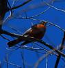 American Robin (Turdus migratorius) Adult.<br /> <br /> Kearny Lake, Nova Scotia. 03 May 2008.