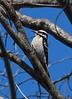 Hairy Woodpecker<br /> <br /> Kearny Lake, Nova Scotia. 03 May 2008.