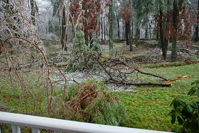 That one managed to bury its bottom branches about 7 inches into the ground.