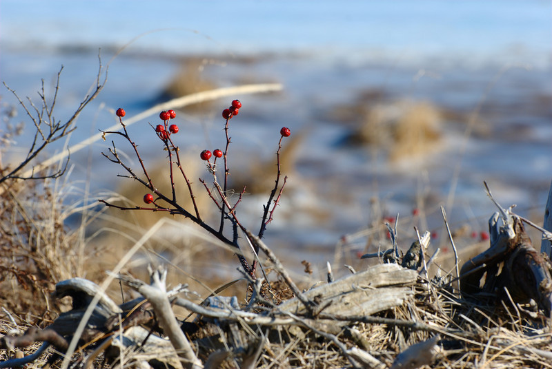 Marsh Berries amongst Driftwood