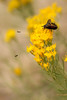 Yellow flowers attract bugs of all varieties, including this happy bee and tiny hoverflies..