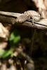 A lizard pauses in flight on a dried stick, unsure of the danger from the photographer.