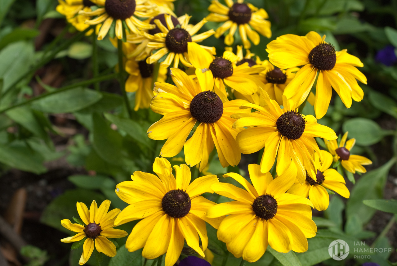 Yellow with Brown Tops