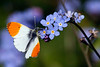 "<DIV ALIGN=RIGHT><i><a class=""nav"">© Marta</a></i></DIV> 18-05-2010 <a href=""http://www.britishbutterflies.co.uk/asp/species.asp?vernacular=Orange-tip"" >Orange-tip</a>"