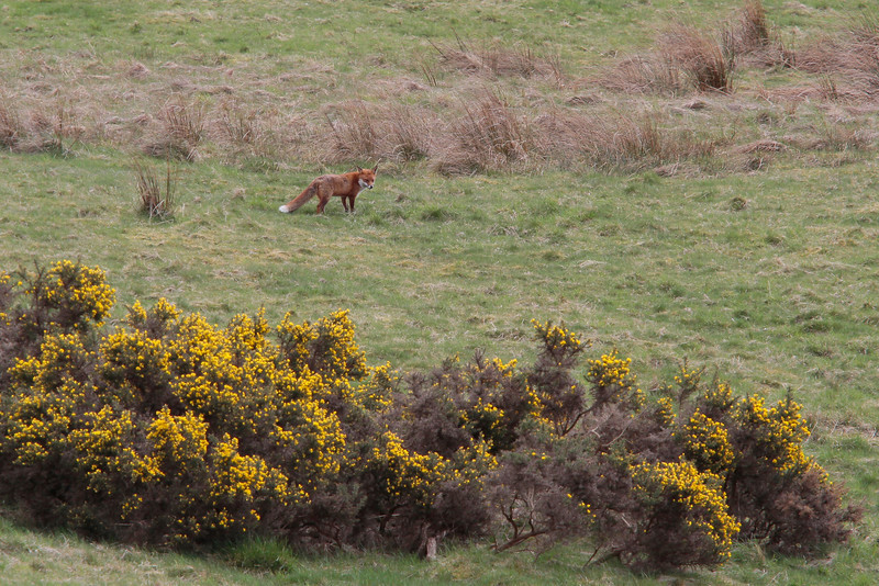 """<DIV ALIGN=RIGHT><i><a class=""""nav"""">© Marta</a></i></DIV> 29-04-2010 Red fox from the window"""