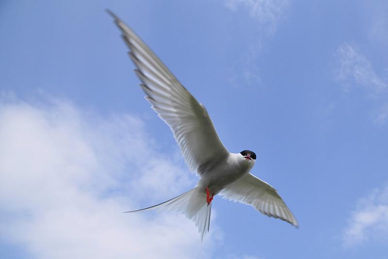 "<DIV ALIGN=RIGHT><i><a class=""nav"">© Felipe</a></i></DIV> 26-06-2010 <a href=""http://www.rspb.org.uk/wildlife/birdguide/name/a/arctictern/index.aspx"" >Arctic tern</a> <a href=""http://en.wikipedia.org/wiki/Farne_Islands"" >Farne Islands</a>"