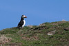"""<DIV ALIGN=RIGHT><i><a class=""""nav"""">© Marta</a></i></DIV> 03-05-2010   <a href=""""http://www.rspb.org.uk/wildlife/birdguide/name/p/puffin/index.aspx"""" >Puffin</a> <a href=""""http://en.wikipedia.org/wiki/Isle_of_May"""" >Isle of May</a>"""