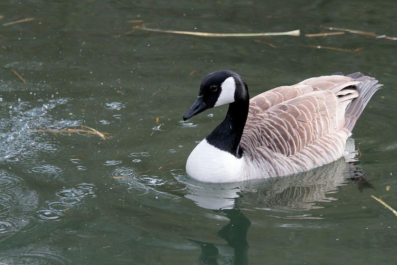 """<DIV ALIGN=RIGHT><i><a class=""""nav"""">© Marta</a></i></DIV> 25-04-2010 <a href=""""http://www.rspb.org.uk/wildlife/birdguide/name/c/canadagoose/index.aspx"""" >Canada goose </a> local pond"""