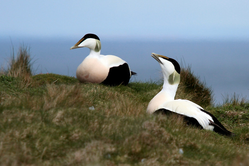 """<DIV ALIGN=RIGHT><i><a class=""""nav"""">© Marta</a></i></DIV> 03-05-2010   <a href=""""http://www.rspb.org.uk/wildlife/birdguide/name/e/eider/index.aspx"""" >Eider drakes</a> <a href=""""http://en.wikipedia.org/wiki/Isle_of_May"""" >Isle of May</a>"""
