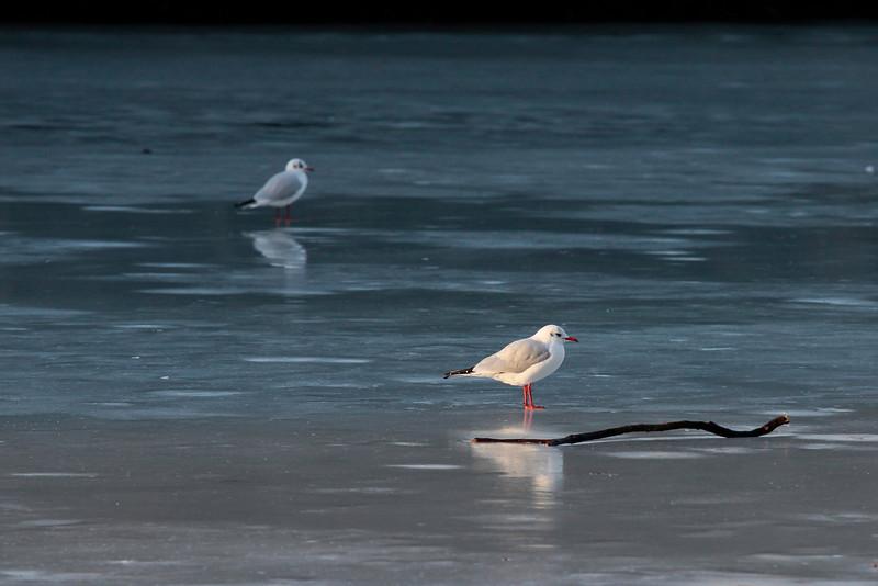 """<DIV ALIGN=RIGHT><i><a class=""""nav"""">© Marta Popovics</a></i></DIV> 18-1-2010 Blackford Pond (frozen)"""