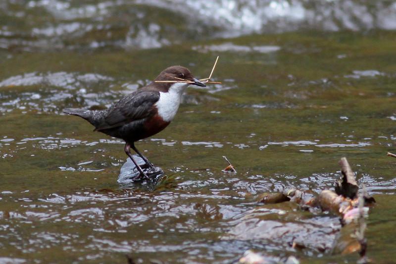 "<DIV ALIGN=RIGHT><i><a class=""nav"">© Felipe</a></i></DIV> 15-05-2010 <a href=""http://www.rspb.org.uk/wildlife/birdguide/name/d/dipper/index.aspx"" >Dipper</a> <a href=""http://en.wikipedia.org/wiki/River_Esk,_Lothian"">River Esk</a>"