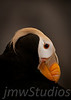 Tufted Puffin - Seward, Alaska 2009