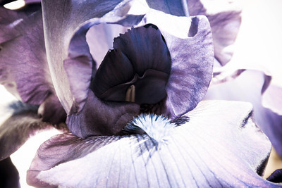 Faded Iris