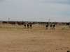 Wild Burro's seem to stick together, more mares behind them in the same holding pen.