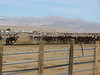 Wild horses,these are all mares in this holding pen. We think there is close to 1500 horses at this facility.