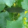 My Garden: Cucumber!