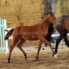 Landfriese II x Wencke Creek Filly 2362