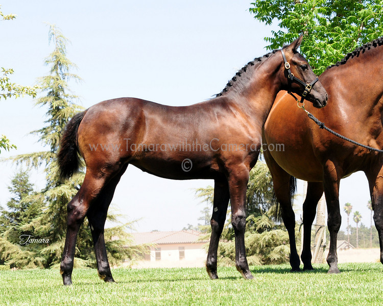 AHS SVE Top Filly Bugatti Hilltop-Tenacity 6552