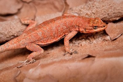 Lizard camoflauge Perfect coloration for red rock country Buckskin Gulch, Utah