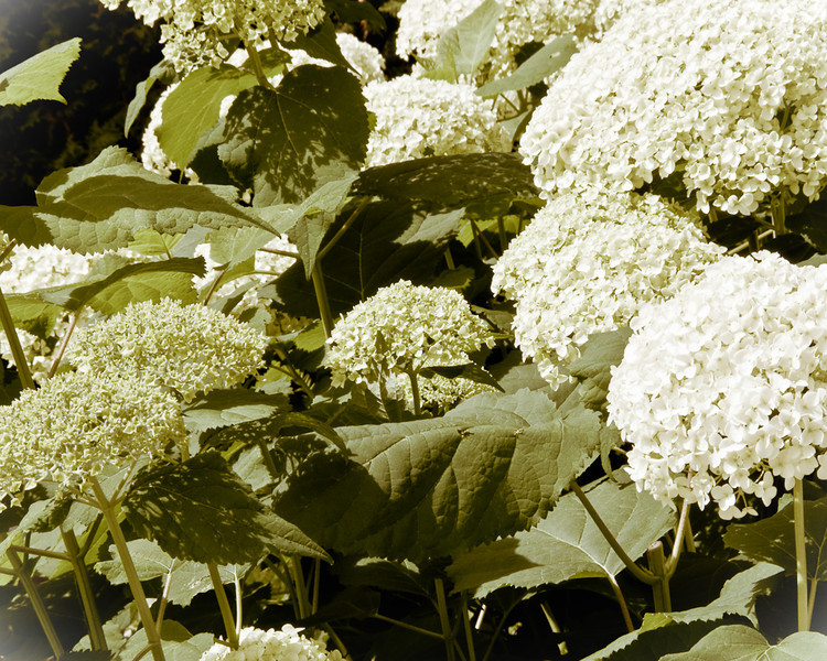 """Antique"" Hydrangeas"
