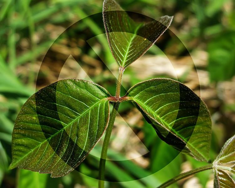 Beware - Poison Ivy!