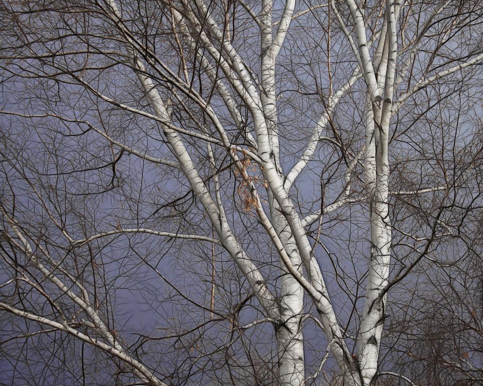 Birch Trees on Slate