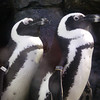 Penguins, Monterey Aquarium