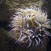 Anenome, Monterey Aquarium