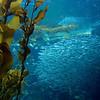Kelp Forest, Monterey Aquarium