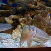Nautilis, Monterey Aquarium