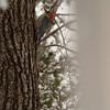 Red-bellied Woodpecker.