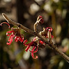 Witch Hazel (Hamamelis vernalis) just beginning to bloom at the start of February, in the Rogue valley of Oregon