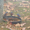 3 bluebirds!  They are SO cute!  We don't see them in our yard a whole lot, but hopefully next year we will if I get a bluebird box.
