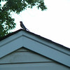 bluebird on top of my neighbor's roof..yes, i know it's blurry, but it was taken spur of the moment through the kitchen window