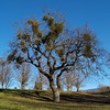 Mistletoe on Oregon White Oak