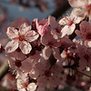 Flowering Purple Plum, Prunus cerasifera