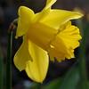 Daffodil, Narcissus