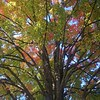 Multi Colored Maple Tree