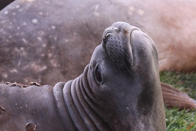 Elephant seal.  Quiet please!  I was taking a nap.