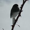 "Dark Eyed Junco - aka ""snow bird""."