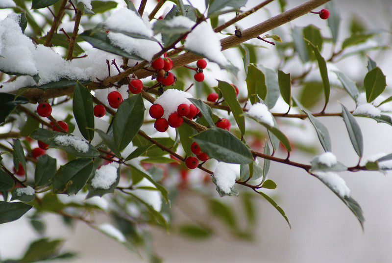 Holly berries in the snow.